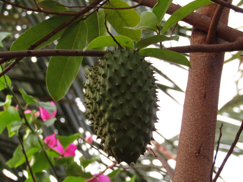 soursop cancer killer